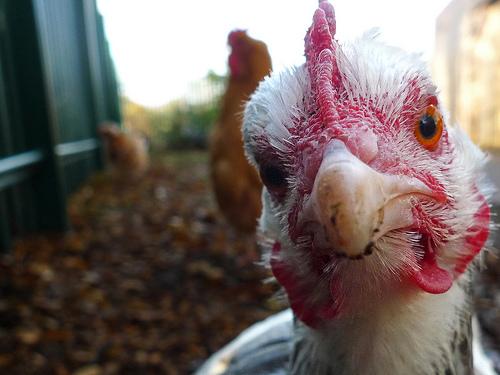 Closeup of chicken