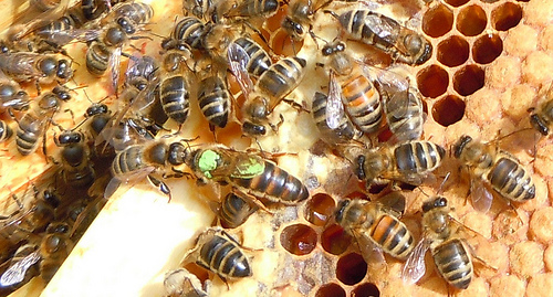 Bees in a hive