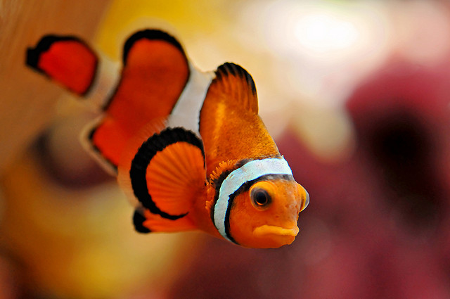 Clownfish picture